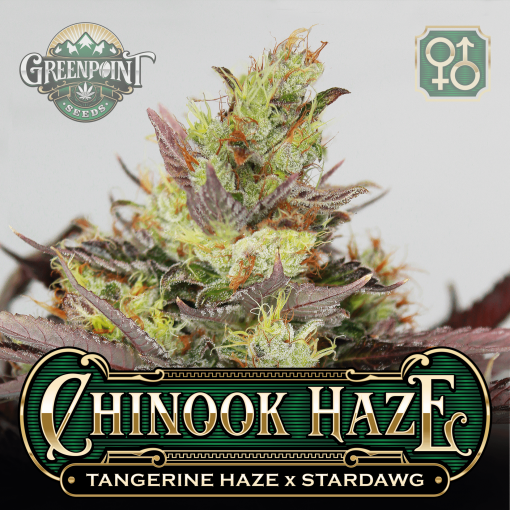 Tangerine Haze x Stardawg Seeds - Chinook Haze Cannabis Seeds - US Seed Bank
