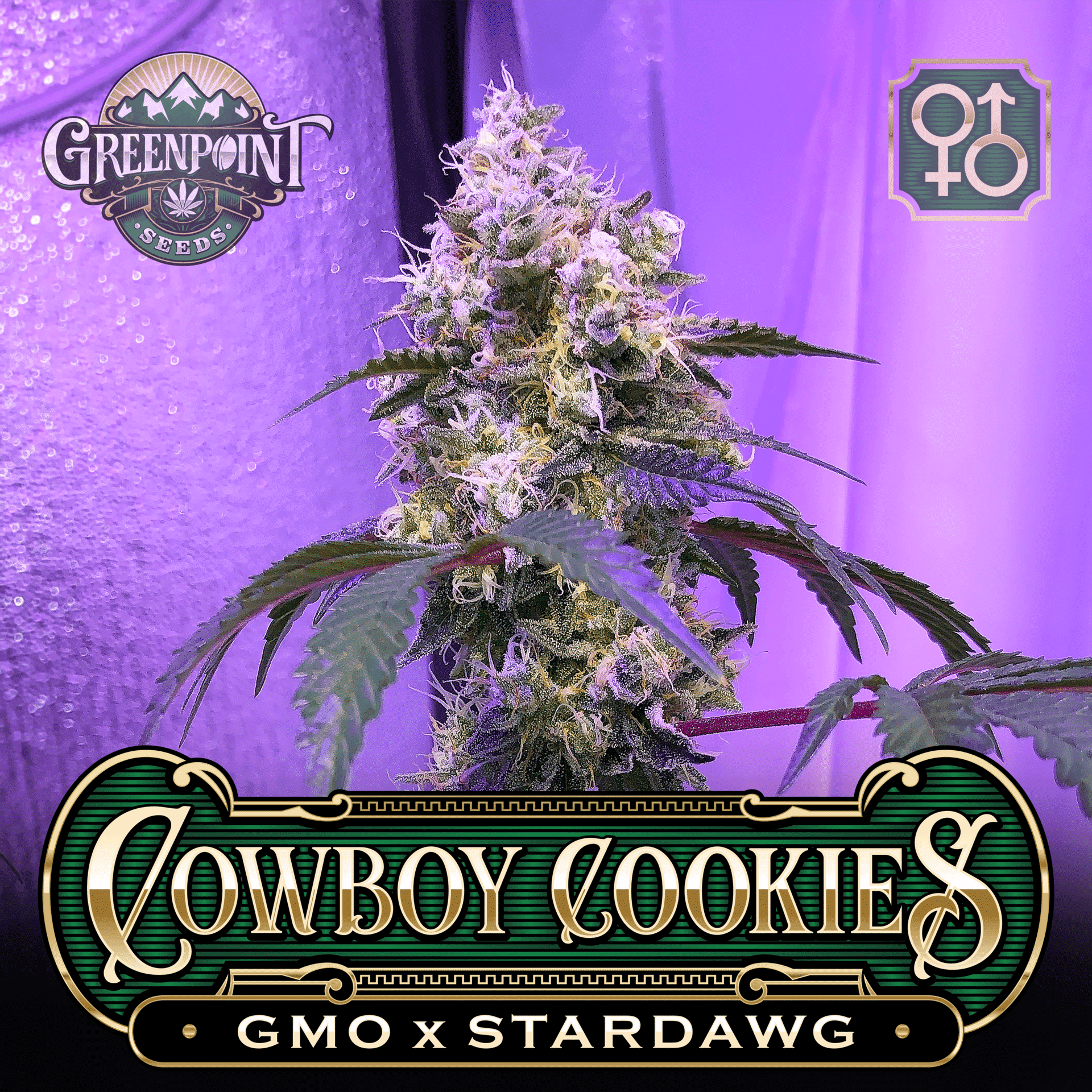 Cowboy Cookies Seeds - GMO x Star Dawg Strain | Greenpoint Seeds