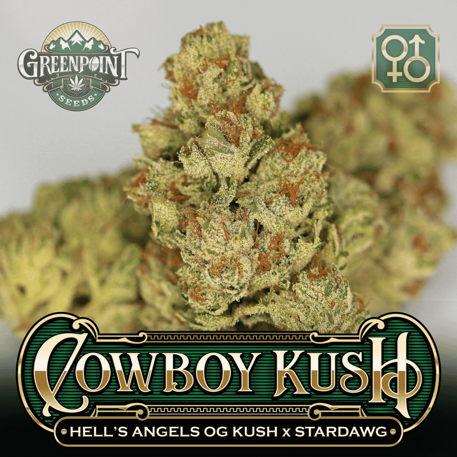 Hell's Angels OG Kush x Stardawg Seeds | Cowboy Kush Cannabis Seeds - US Seed Bank