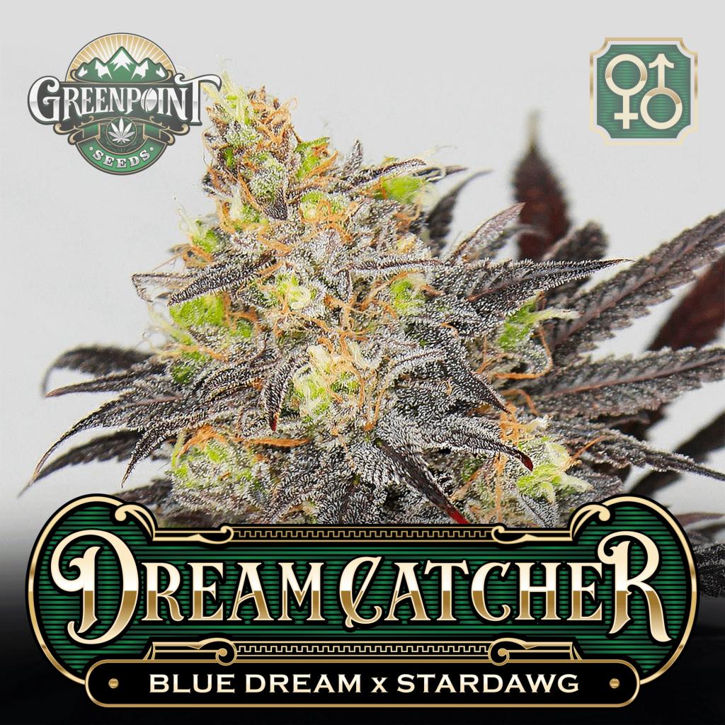Blue Dream x Stardawg Seeds | Dreamcatcher Cannabis Seeds