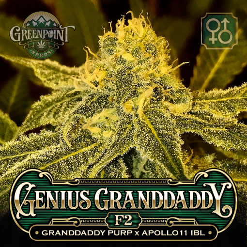 Granddaddy Purple (GDP) x Apollo 11 IBL Seeds - Genius Granddaddy F2 Seeds - US Marijuana Seed Bank