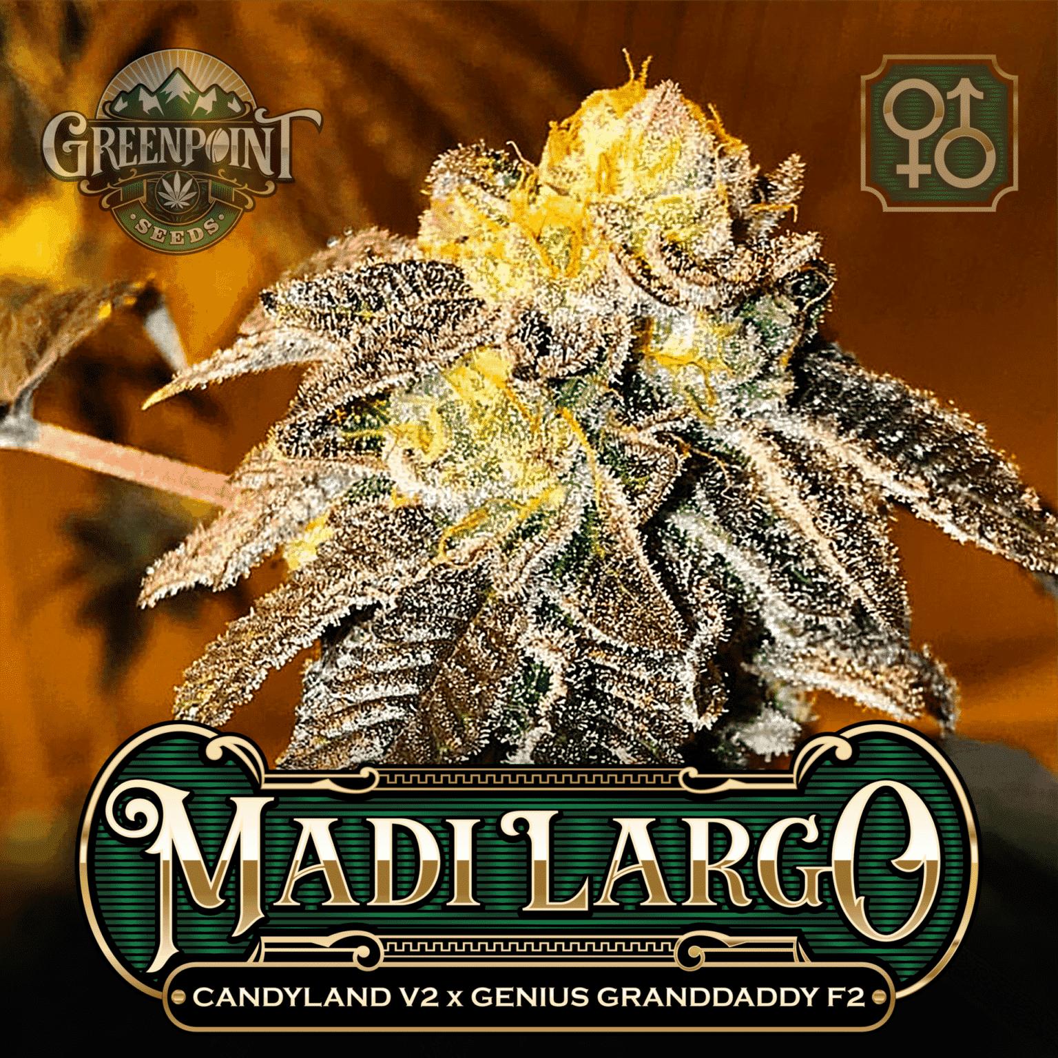 Candyland v2 x Genius Granddaddy F2 Seeds - Madi Largo Cannabis Seeds - US Seed Bank