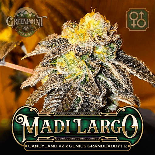 Candyland v2 x Genius Granddaddy F2 Seeds - Madi Largo Cannabis Seeds - US Seed Bank