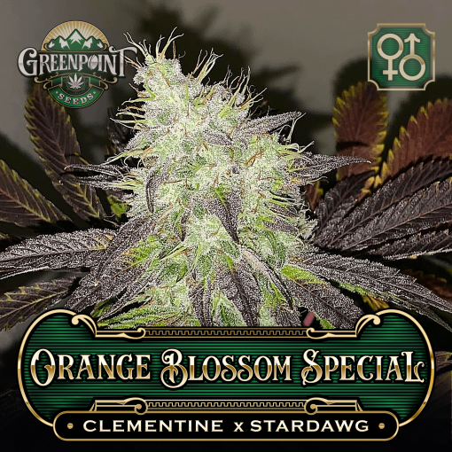 Clementine x Stardawg Seeds - Orange Blossom Special Cannabis Seeds - US Seed Bank