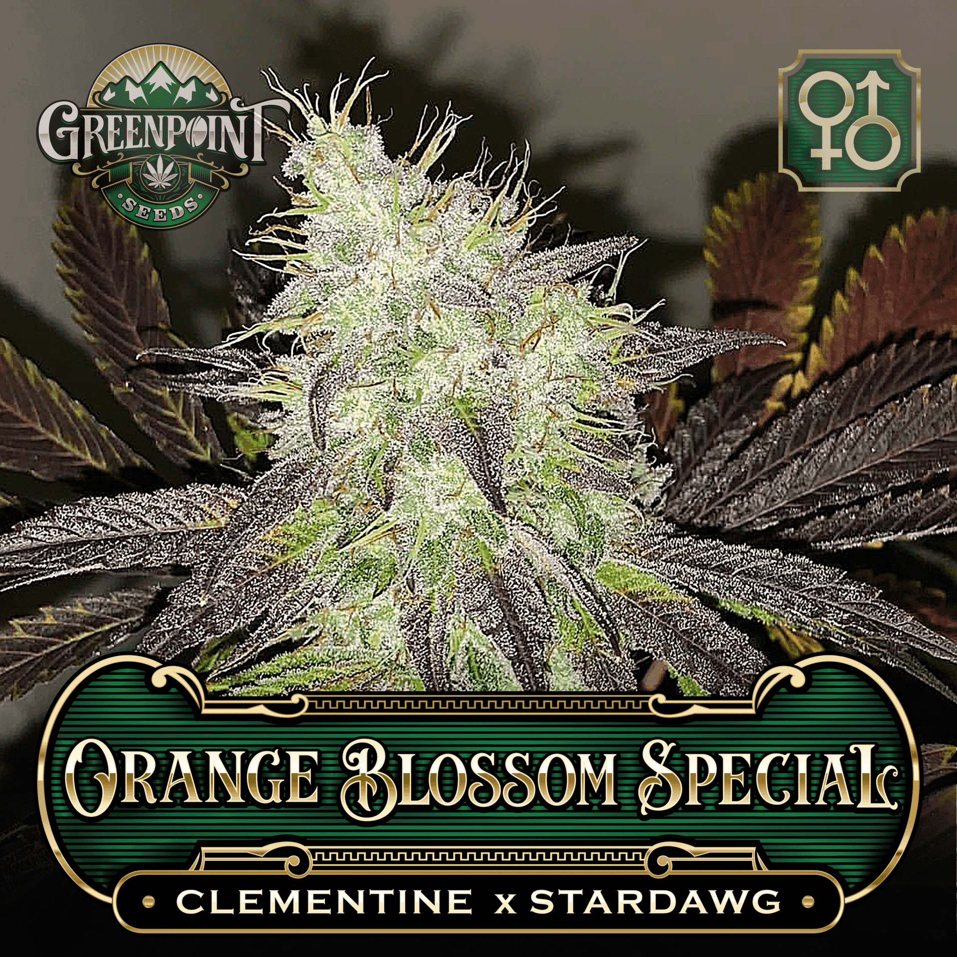 Orange Blossom Special Seeds Clementine Strain Greenpoint Seeds