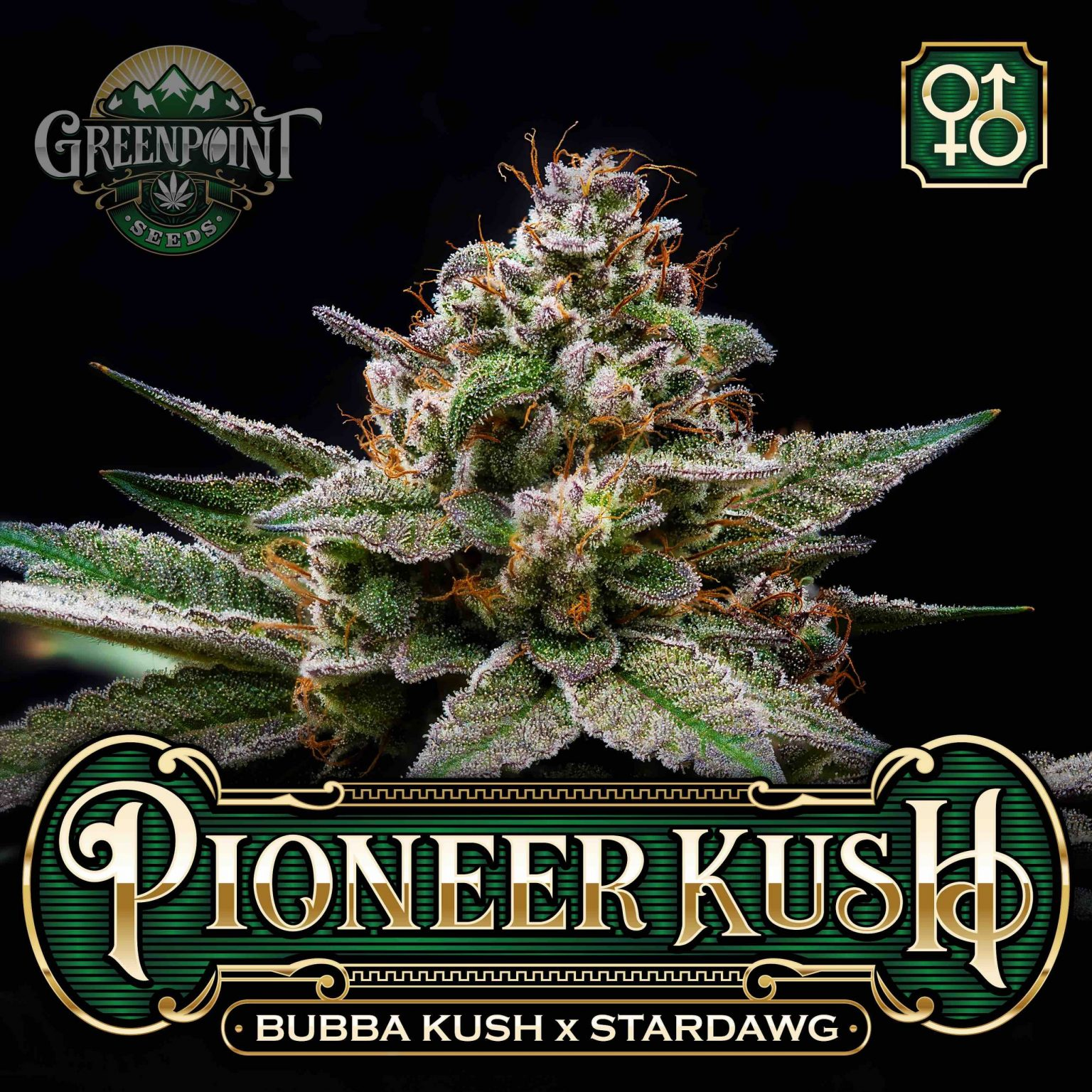 Bubba Kush x Stardawg Seeds | Pioneer Kush Cannabis Seeds