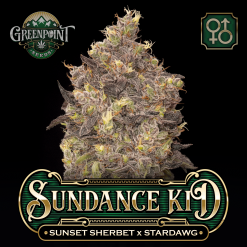 Sunset Sherbet x Stardawg Seeds - Sundance Kid Cannabis Seeds - US Seed Bank