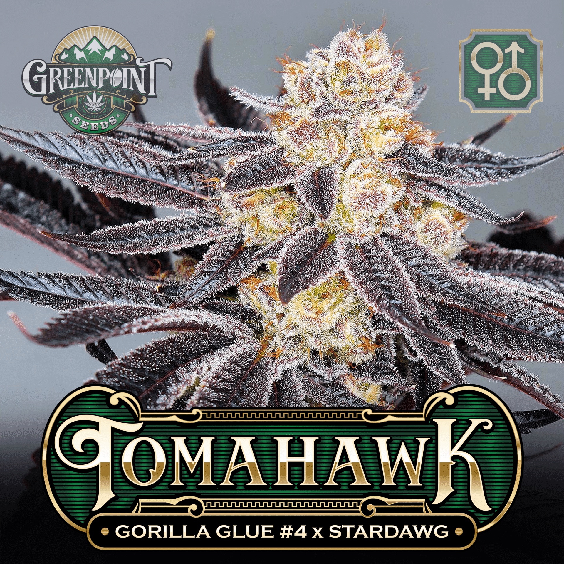 Tomahawk Seeds - Gorilla Glue #4 x Stardawg Strain   Greenpoint Seeds