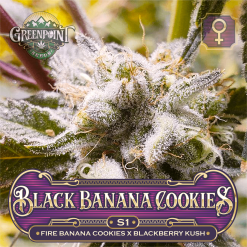 Black Banana Cookies S1 Cannabis Strain - Blackberry Kush Seeds - Greenpoint Seeds