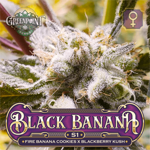 Fire Banana Cookies x Blackberry Kush Seeds - Black Banana Cookies S1 Cannabis Seeds - Colorado Seed Bank