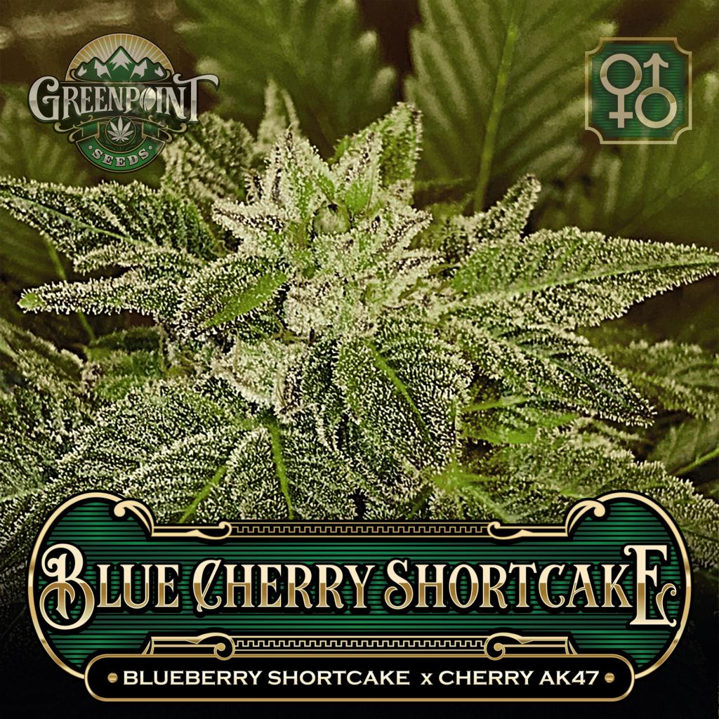 Blueberry Shortcake x Cherry AK-47 Seeds - Blue Cherry Shortcake Cannabis Seeds - Colorado Seed Bank