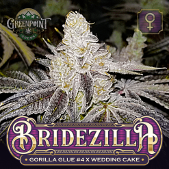 Gorilla Glue #4 x Wedding Cake Seeds - Bridezilla Cannabis Seeds - Colorado Seed Bank