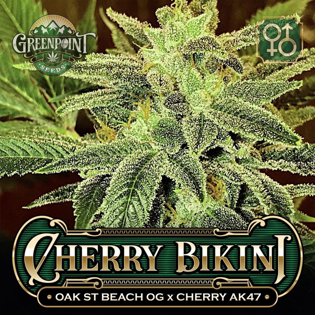 Oak St. Beach OG x Cherry AK-47 Seeds - Cherry Bikini Cannabis Seeds - US Colorado Seed Bank