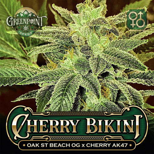 Oak St. Beach OG x Cherry AK-47 Seeds - Cherry Bikini Cannabis Seeds - US Colorado Seed Bank