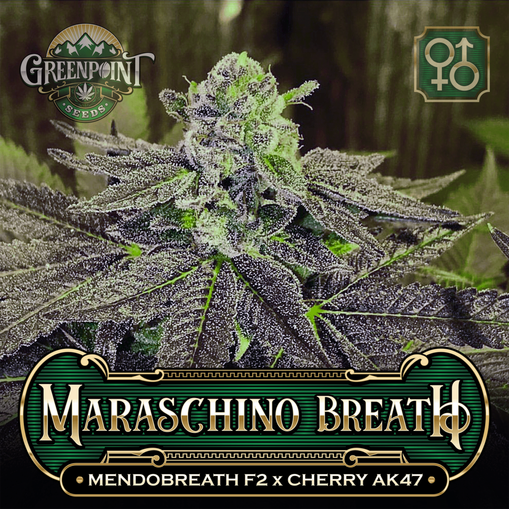 Mendobreath F2 x Cherry AK-47 Seeds - Maraschino Breath v1 - Colorado Seed Bank