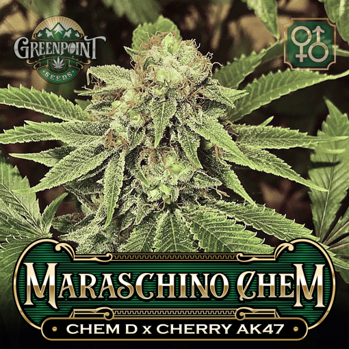 Chemdog x Cherry AK-47 Seeds - Maraschino Chem Cannabis Seeds - Colorado Seed Bank