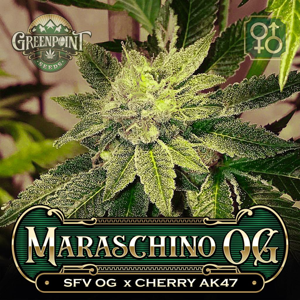 SFV OG x Cherry AK-47 Seeds - Maraschino OG Cannabis Seeds - Colorado Seed Bank