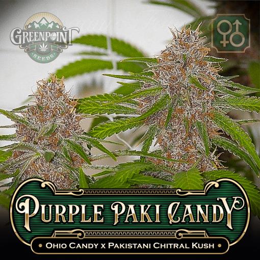 Ohio Candy x Pakistani Chitral Kush Seeds - Purple Paki Candy Cannabis Seeds Colorado Seed Bank