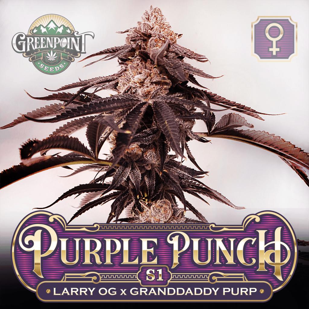 Larry OG x Granddaddy Purple Seeds - Purple Punch S1 Feminized Cannabis Seeds - Colorado Seed Bank