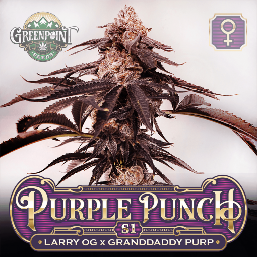 Larry OG x Granddaddy Purple Seeds - Purple Punch S1 Feminized Cannabis Seeds - Colorado Seed Bank