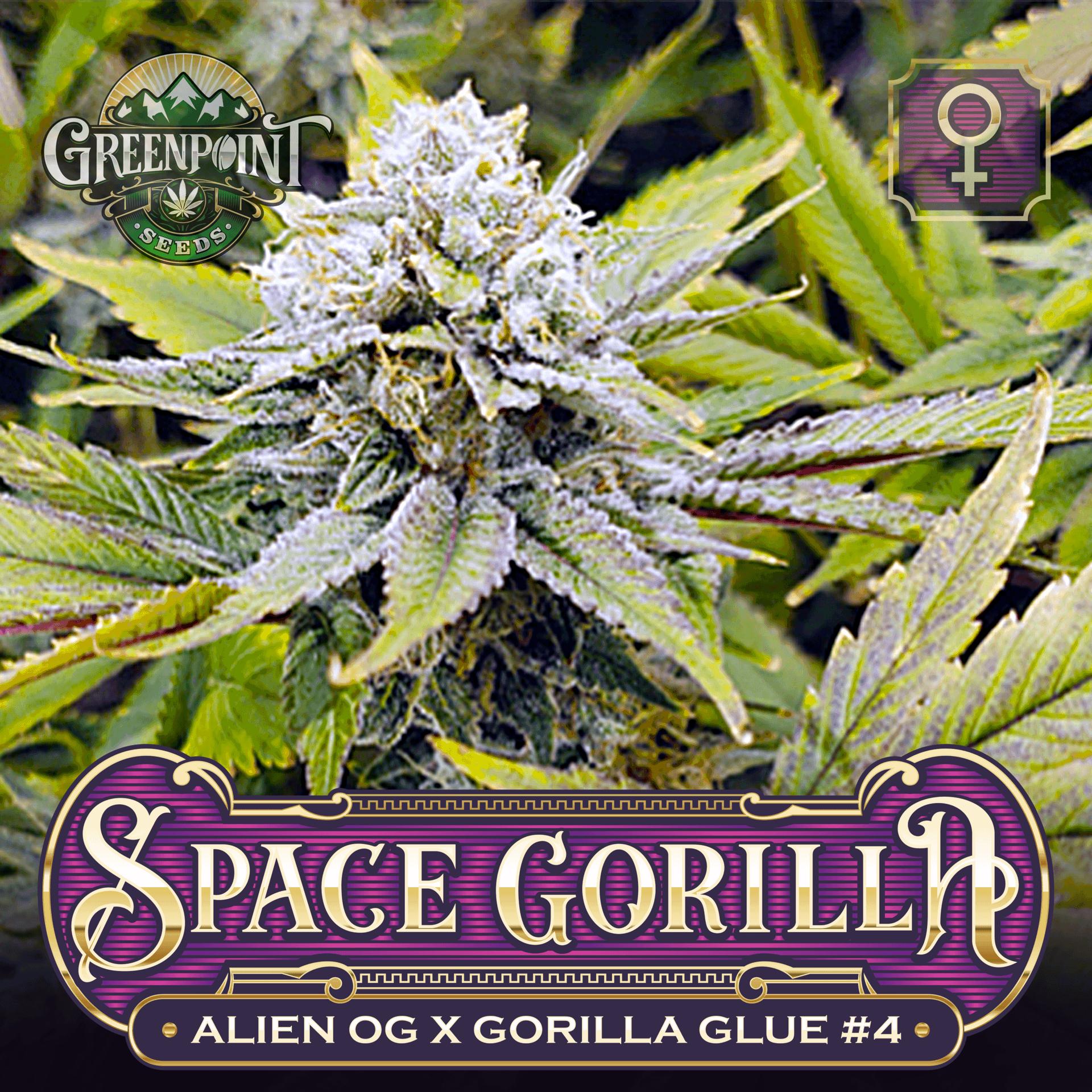 Space Gorilla Feminized - Alien OG x Gorilla Glue #4 | Greenpoint Seeds