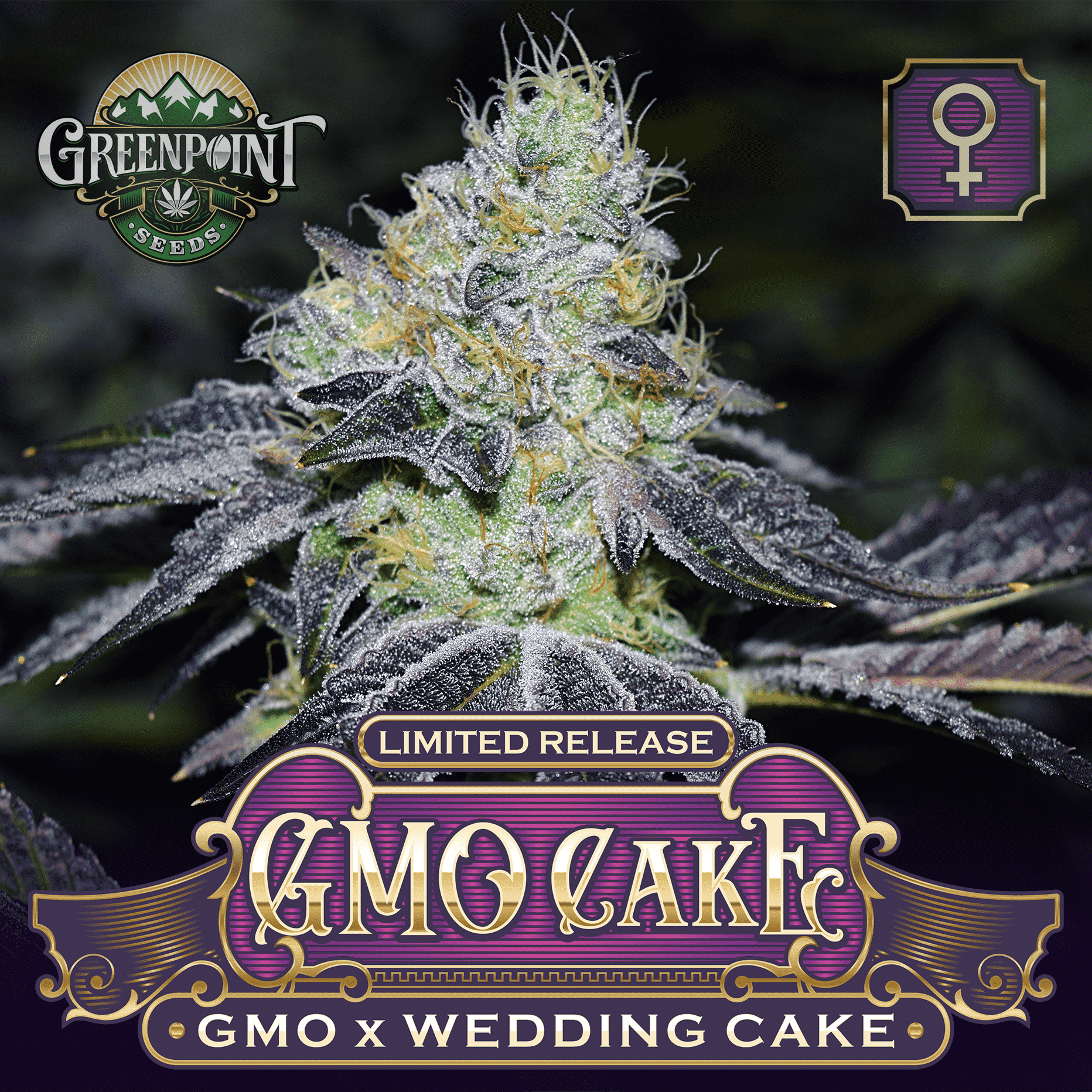 GMO Cakes Feminized Seeds - GMO x Wedding Cake | Greenpoint Seeds
