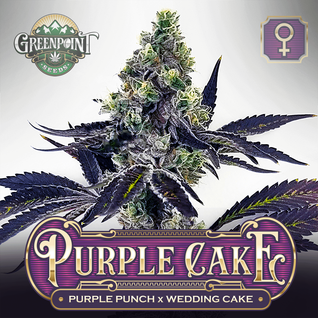 Purple Punch x Wedding Cake Seeds - Purple Cake Cannabis Seeds - Colorado Seed Bank USA