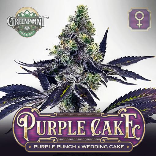 Purple Punch x Wedding Cake Seeds - Purple Cake Cannabis Seeds - Colorado Seed Bank USA