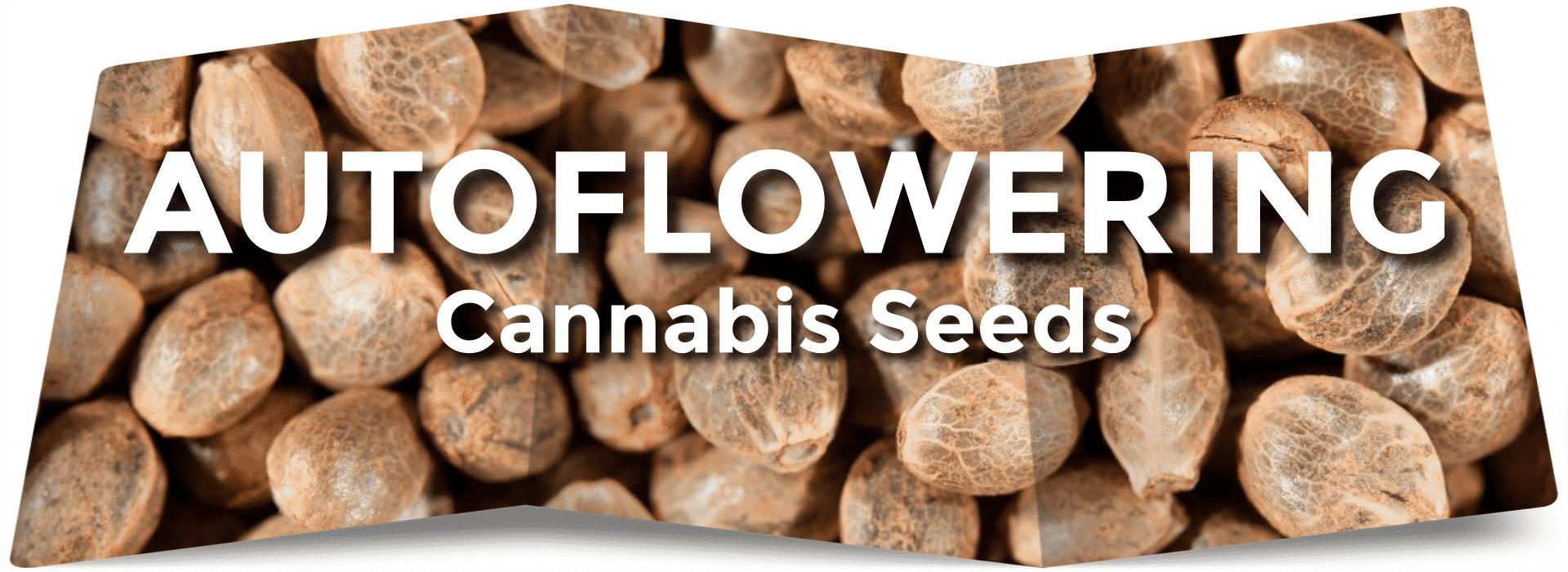 Autoflower Cannabis Seeds - Greenpoint Seeds