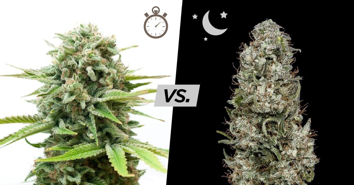 Autoflowering vs. Photoperiod Cannabis Seeds