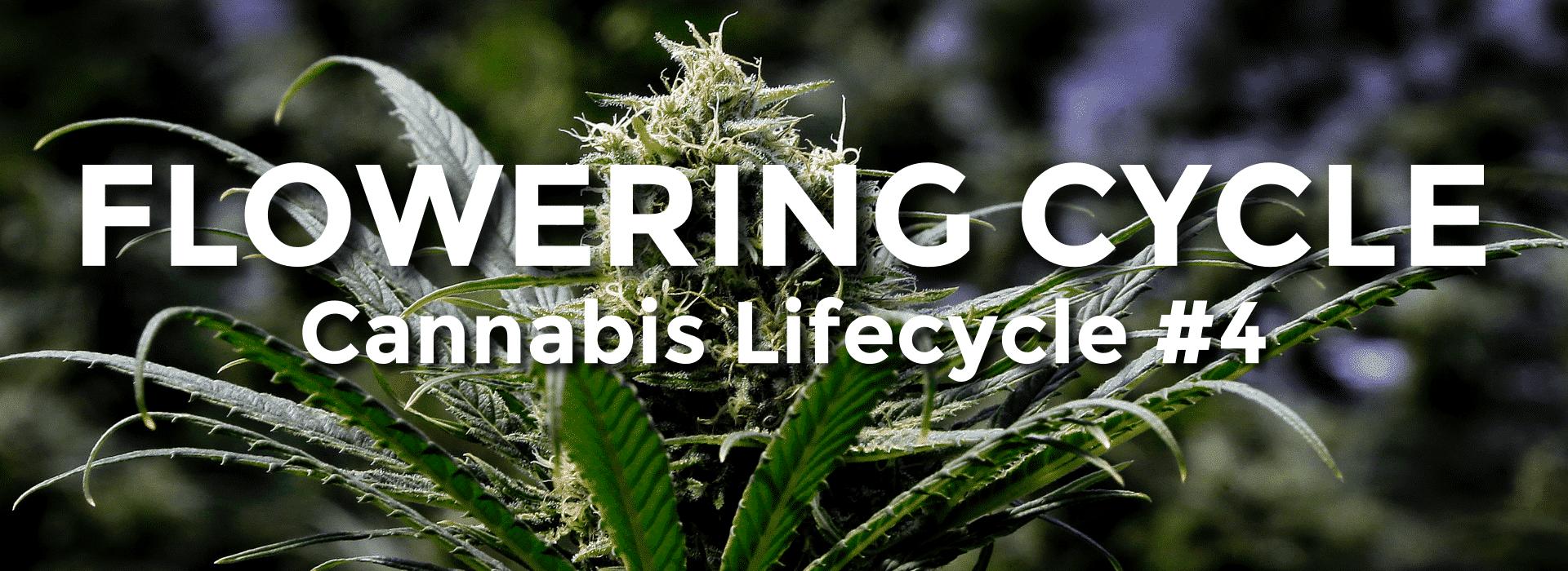 Cannabis Flowering Cycle - Growing Marijuana Steps