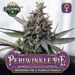 Wedding Pie x Purple Punch Feminized Cannabis Seeds - Periwinkle Pie