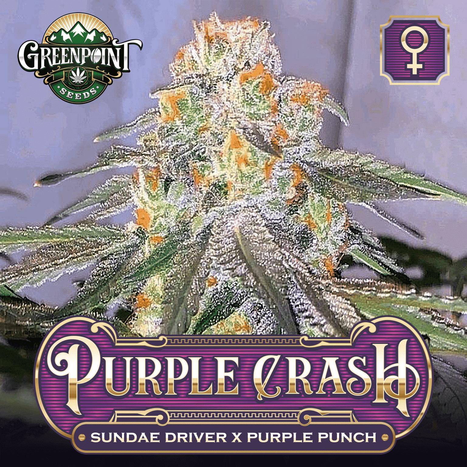 Purple Crash Feminized Seeds - Sundae Driver x Purple Punch