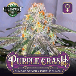 Purple Crash Feminized Seeds - Sundae Driver x Purple Punch