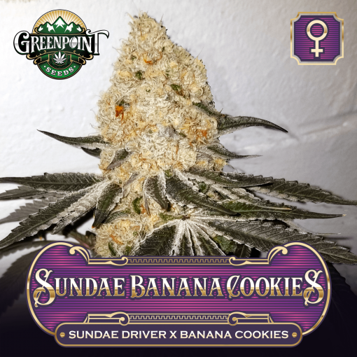 Sundae Banana Cookies Feminized Seeds - Greenpoint Seeds