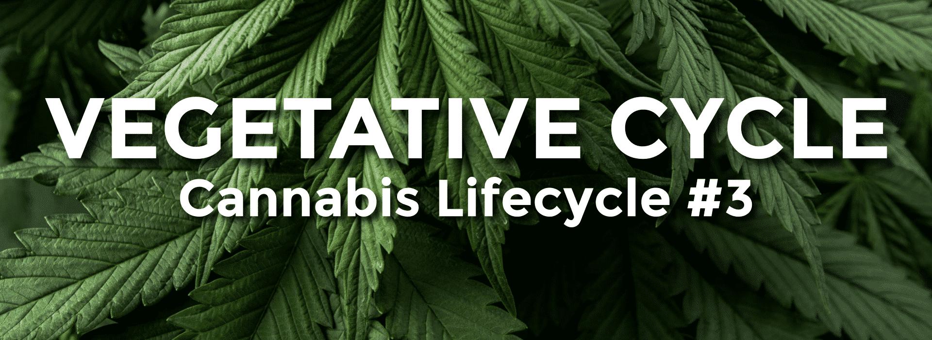 Cannabis Vegetative Cycle - Growing Marijuana