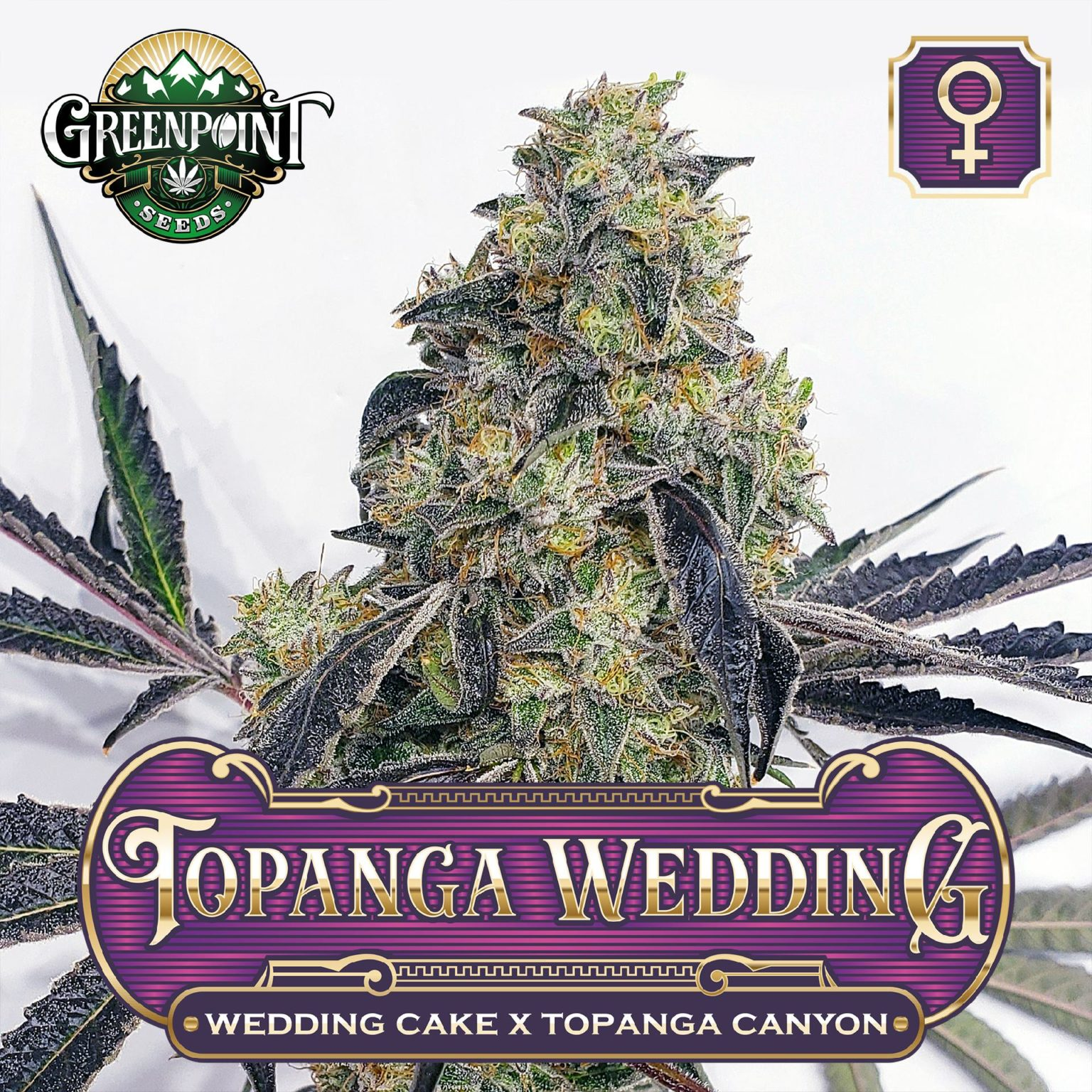 Topanga Wedding Feminized Cannabis Seeds - Wedding Cake x Topanga Canyon - Buy Feminized Seeds