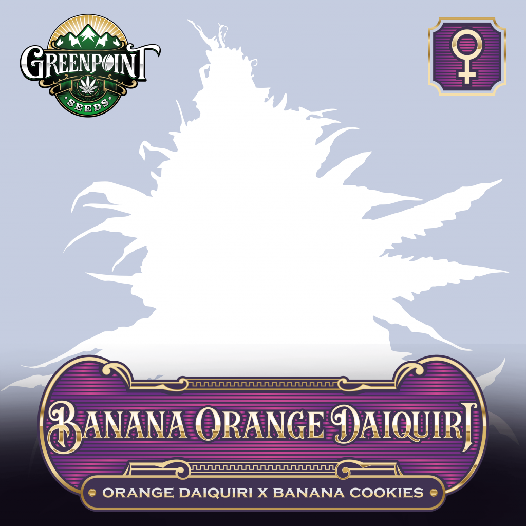 Banana Orange Daiquiri - Orange Daiquiri x Banana Cookies - Feminized Cannabis Seeds