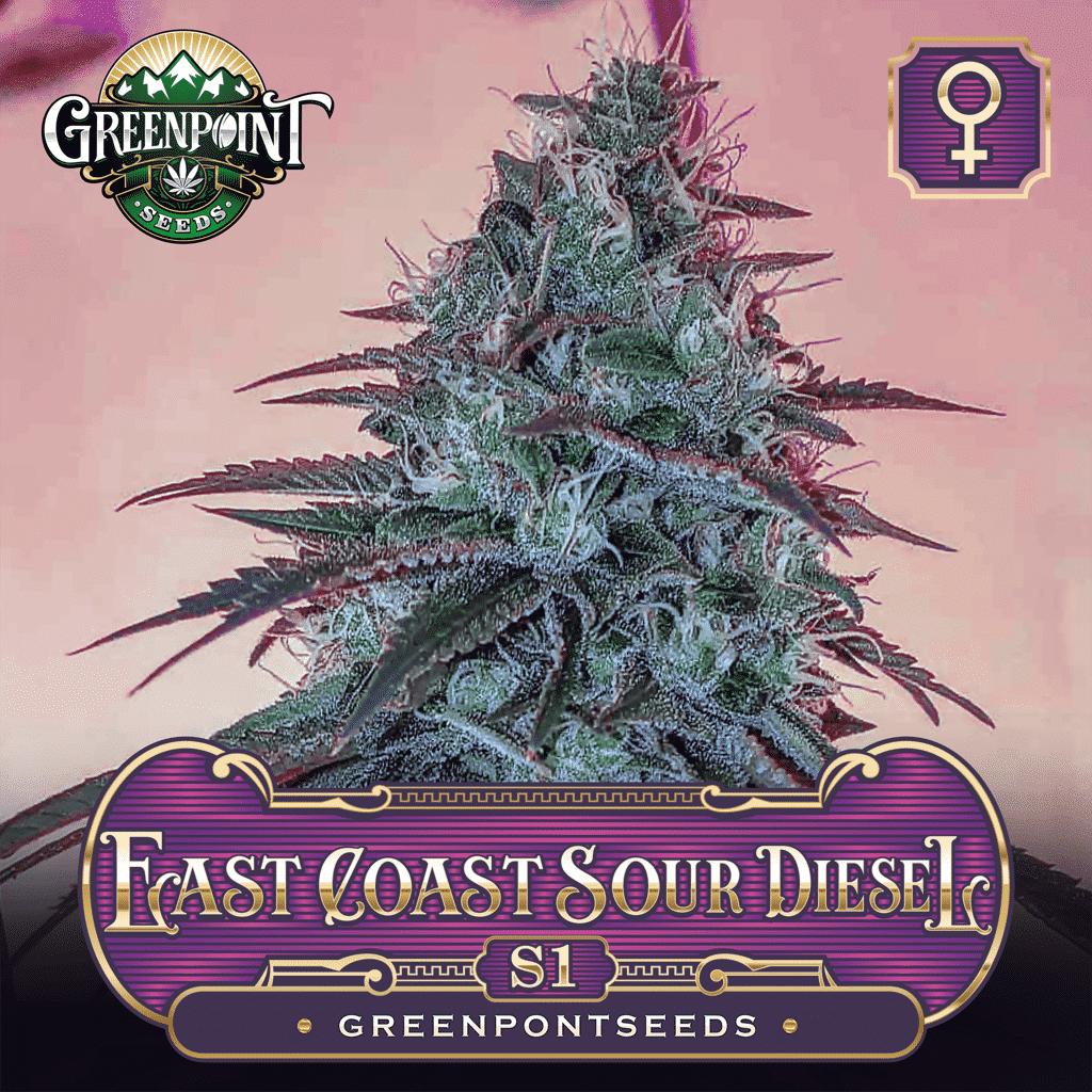 East Coast Sour Diesel S1 x ECSD - Feminized Cannabis Seeds - Greenpoint Seeds