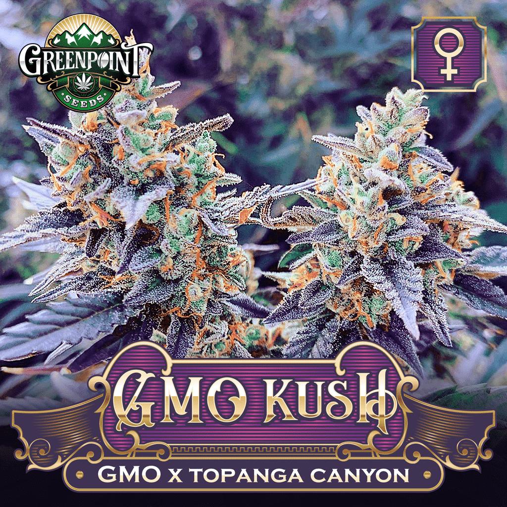 GMO Kush Feminized Cannabis Seeds - Greenpoint Seeds Colorado
