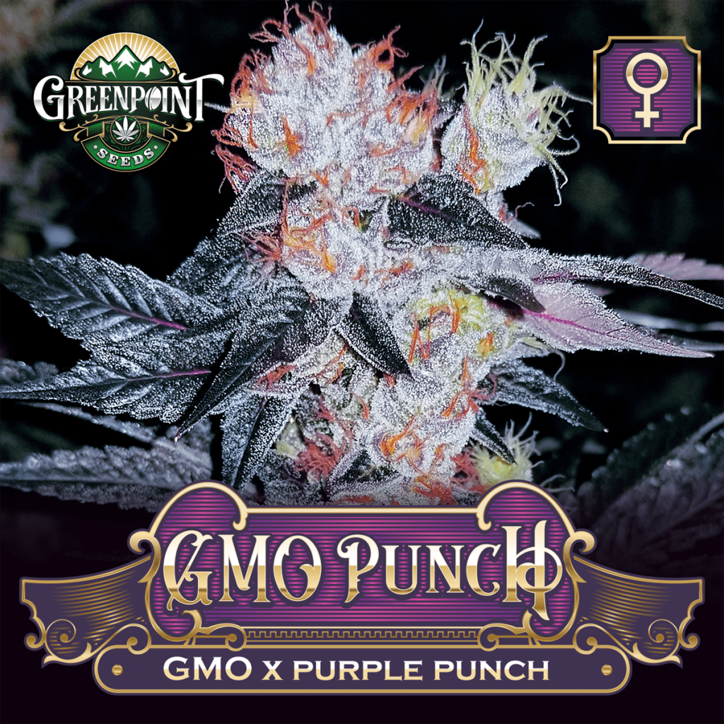 GMO x Purple Punch Feminized Seeds - GMO Punch Cannabis Seeds