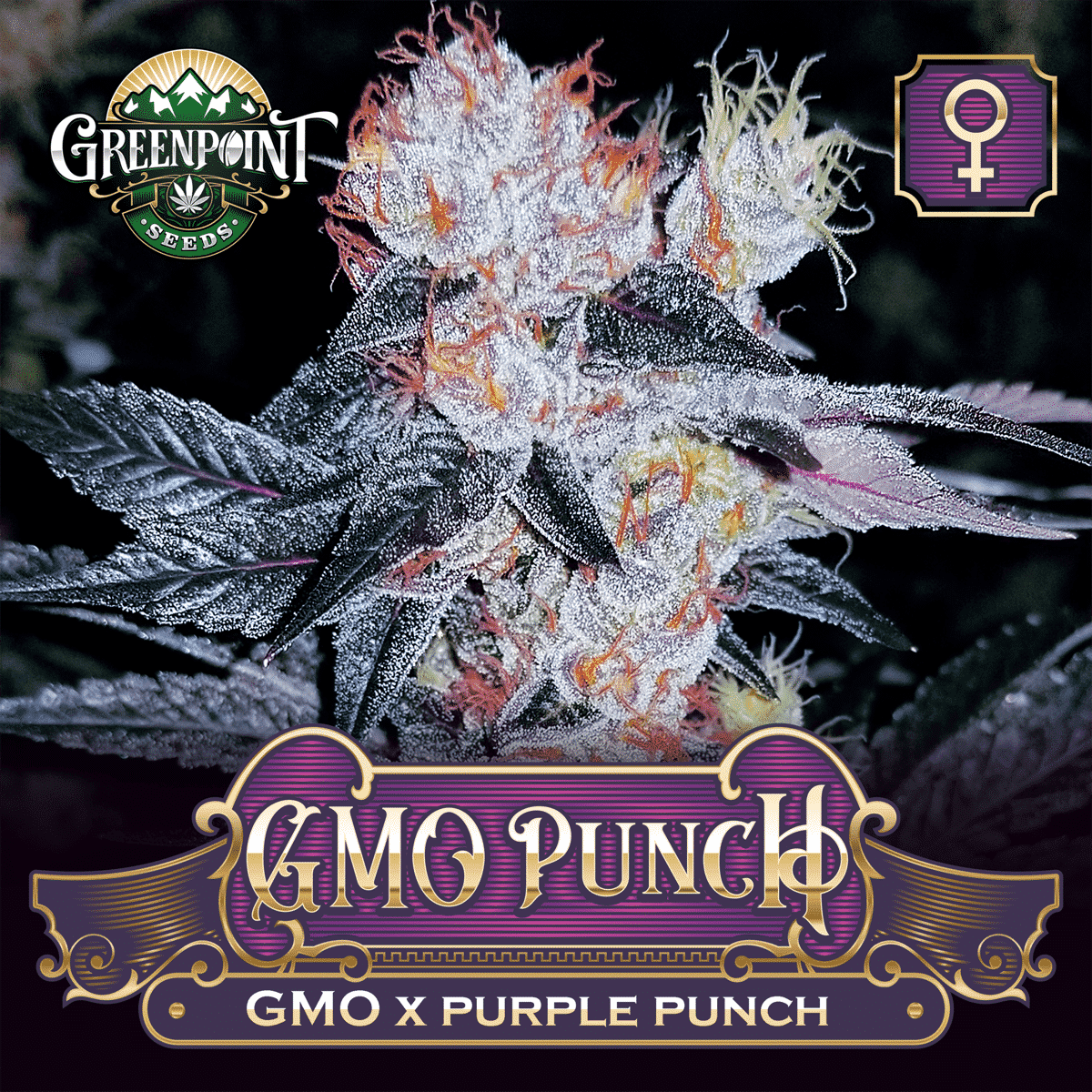 GMO x Purple Punch Feminized Seeds - GMO Punch Cannabis Seeds