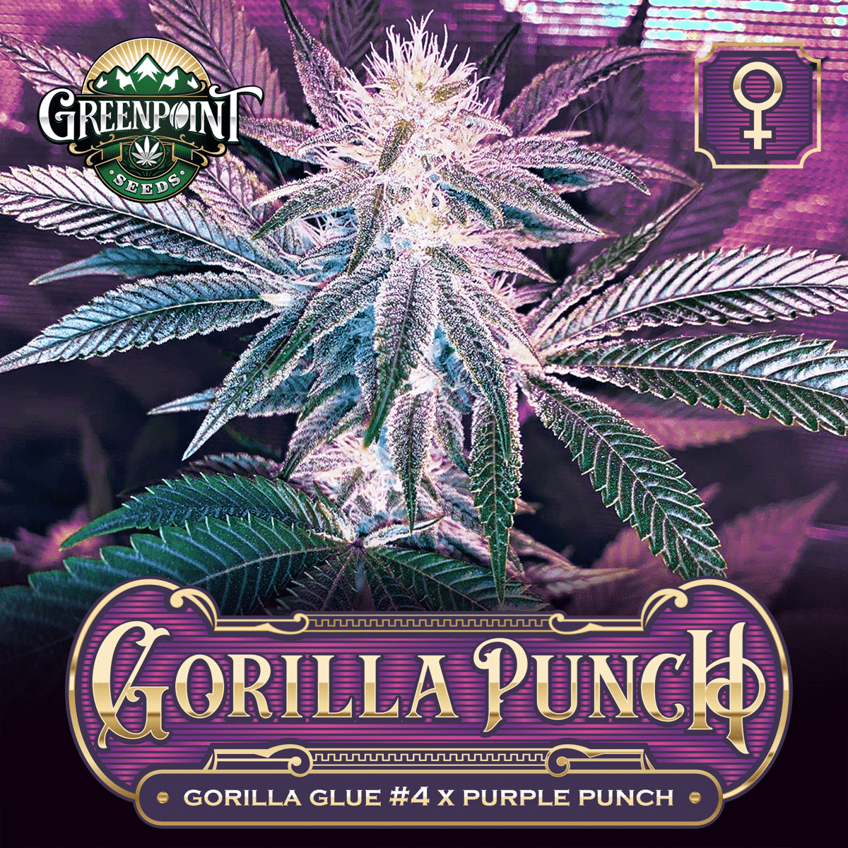 Gorilla Punch Feminized Cannabis Seeds - GG4 x Purple Punch Seeds