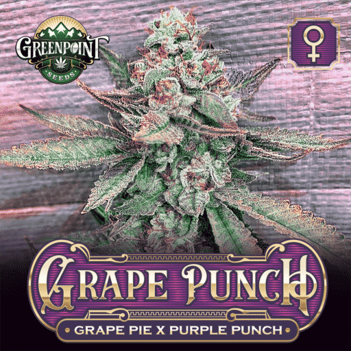 Grape Pie x Purple Punch Feminized Seeds - Grape Punch Cannabis Seeds