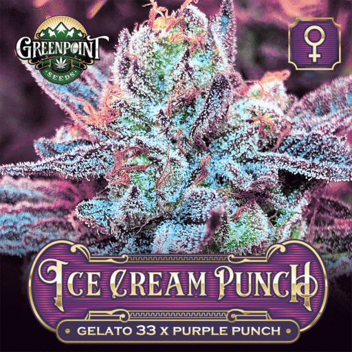 Ice Cream Punch Feminized Seeds - Gelato #33 x Purple Punch Marijuana Seeds