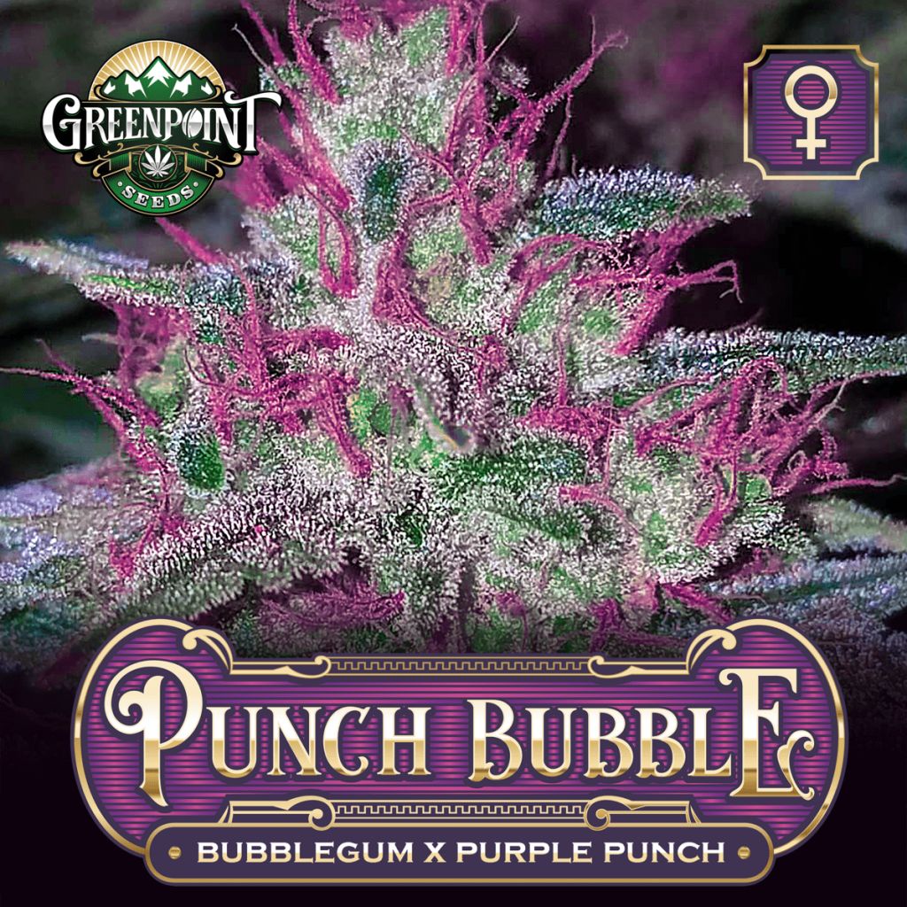 Bubblegum x Purple Punch Feminized Cannabis Seeds - Punch Bubble Strain - Greenpoint Seeds Bank