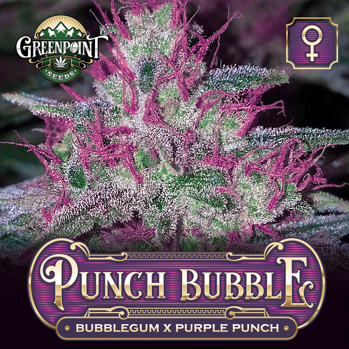 Bubblegum x Purple Punch Feminized Cannabis Seeds - Punch Bubble Strain - Greenpoint Seeds Bank