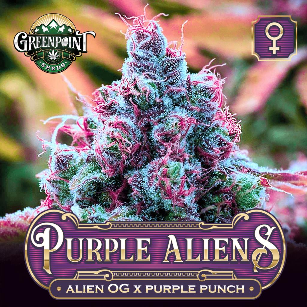 Purple Aliens Feminized Seeds - Alien OG x Purple Punch Cannabis Seeds