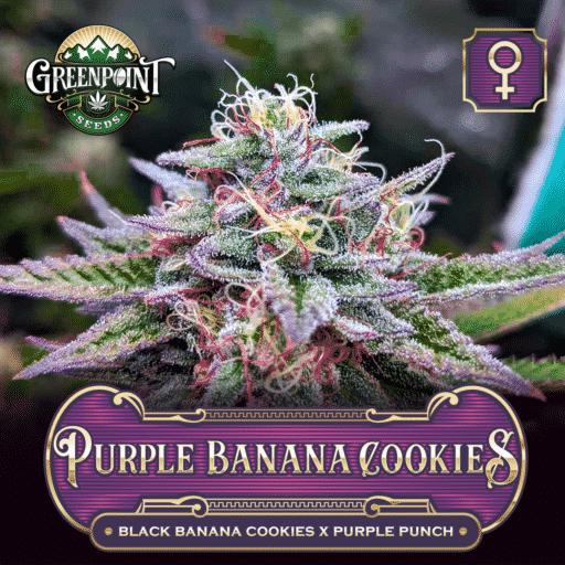Purple Banana Cookies Feminized Seeds - Black Banana Cookies x Purple Punch Feminized Cannabis Seeds