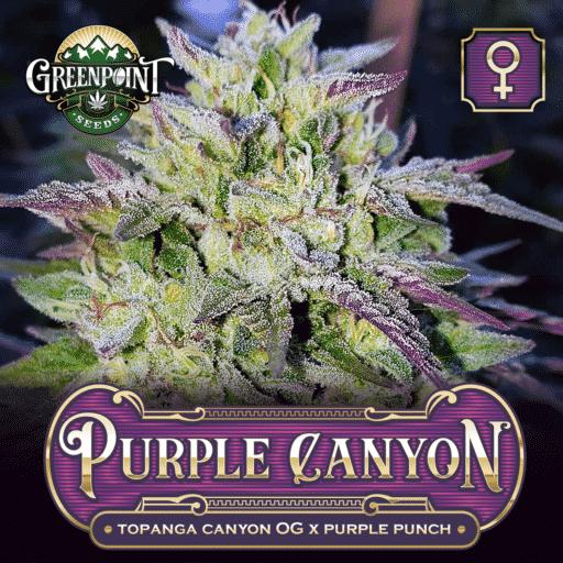 Topanga Canyon OG x Purple Punch Feminized Cannabis Seeds - Purple Canyon Strain